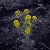 菜の花(色抽出)