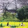 菜の花と桜2