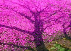 シバザクラ(芝桜)