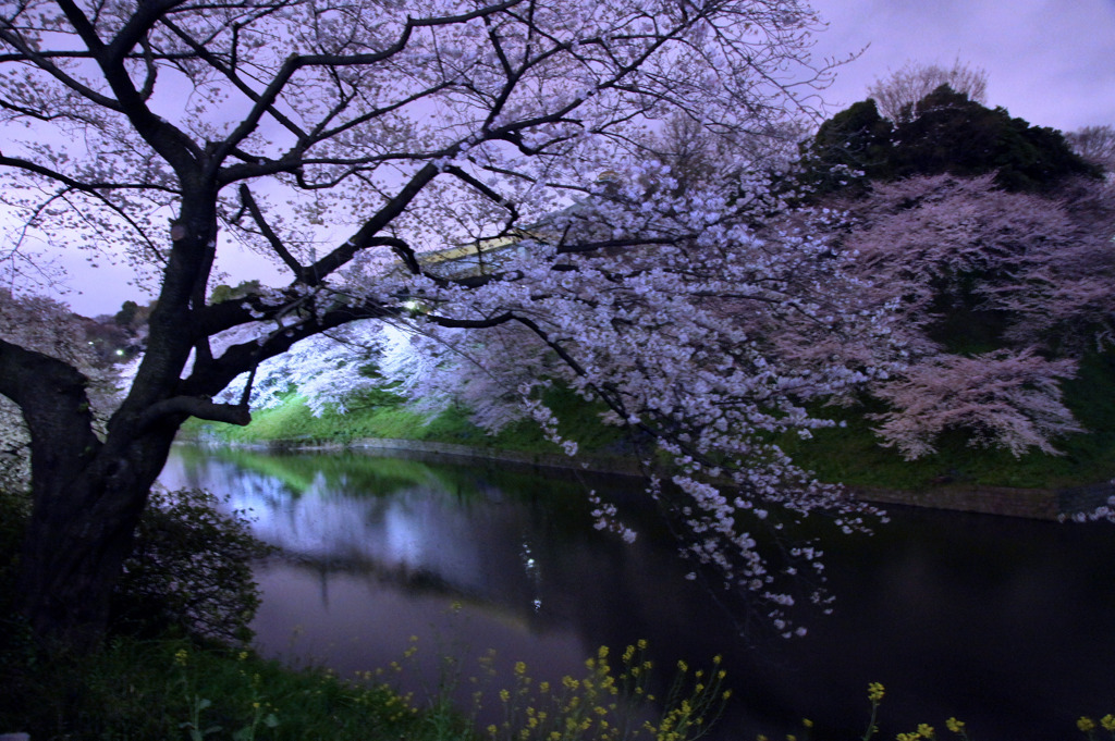 堀の夜桜2