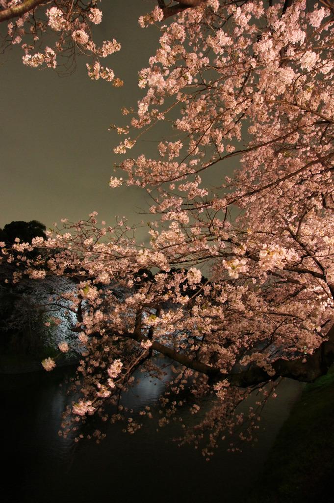 LEDライトアップの桜