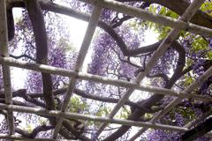 Purple color 巨藤の香り  04