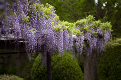 Purple color 巨藤の香り  01