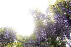 Purple color 巨藤の香り  03