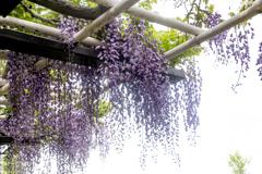 Purple color 巨藤の香り  05