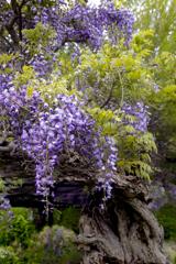 Purple color 巨藤の香り  02