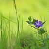野に咲く紫