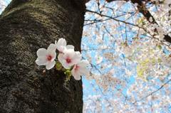 幹の桜も満開