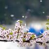 桜 舞い上がれ