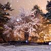 雪桜 メリーブロッサム