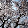 桜2011-4