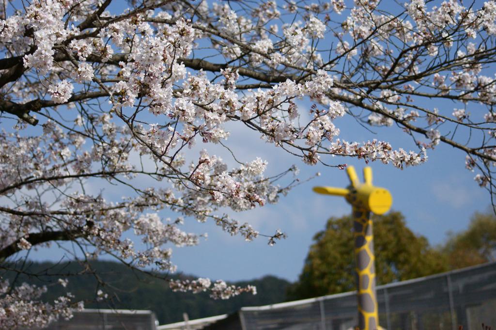 京都動物園ののキリンさんと桜