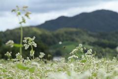 ソバ畑の遠景