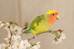 黄桜インコ?