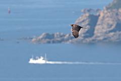 岬を渡るハチクマ