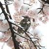 桜、ヒヨドリ、そして雪