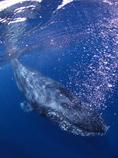 ザトウクジラ接近