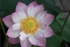 ピンクダイヤモンド蓮花