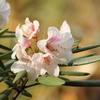 石楠花 シャクナゲ
