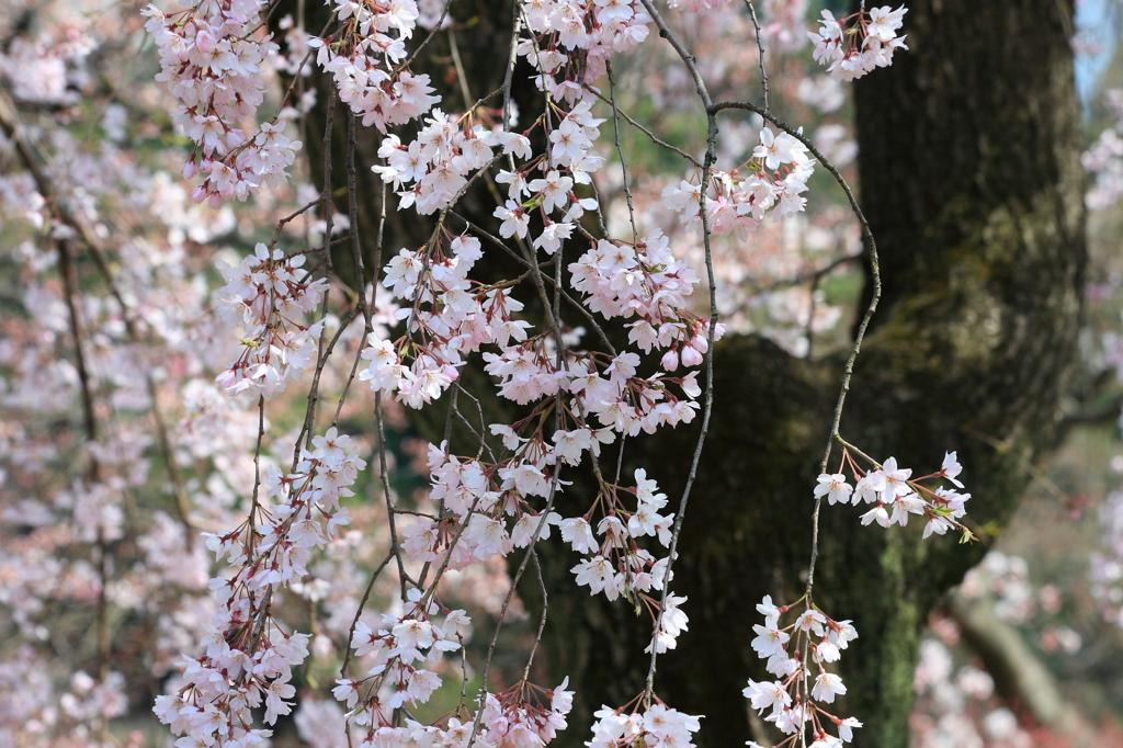 小石川後楽園枝垂桜