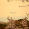 到着を待つ桜達