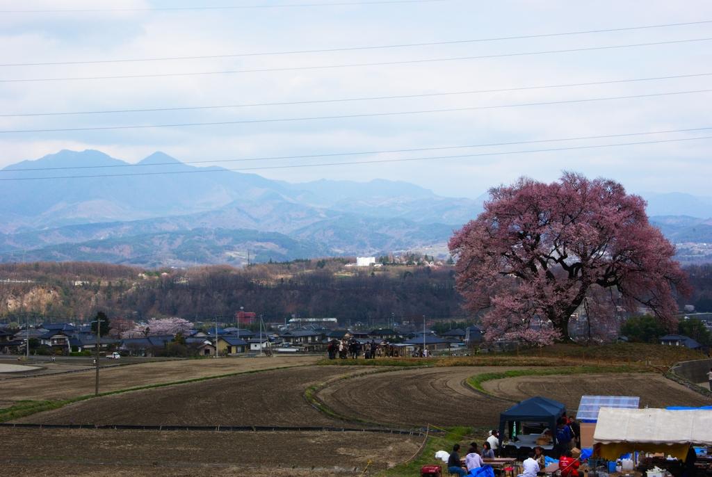 巨大な一本桜