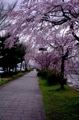 鴨川沿い桜道