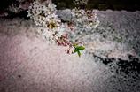 咲く桜、散る桜