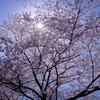 花見日和①