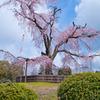 京都 八坂神社 円山公園しだれ桜