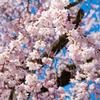 京都 八坂神社 円山公園 桜