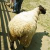 ヤギ・人・羊のお尻