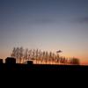 黄昏時の白樺並木