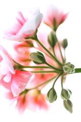 頑固!ババアの花
