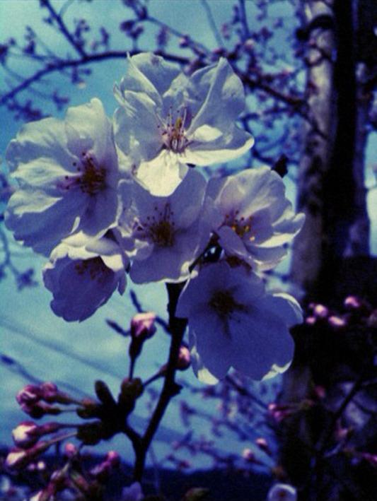 桜~咲き始め