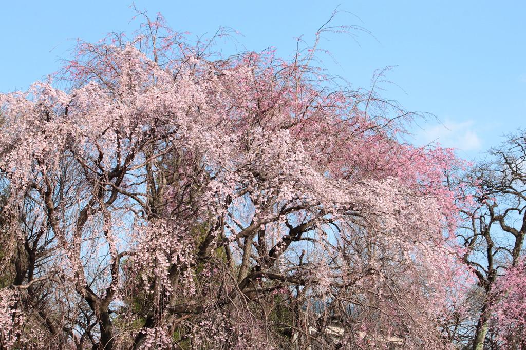 枝垂れ桜..