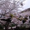 桜_音無山_2