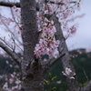 桜_音無山_5