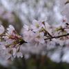 桜_お店前