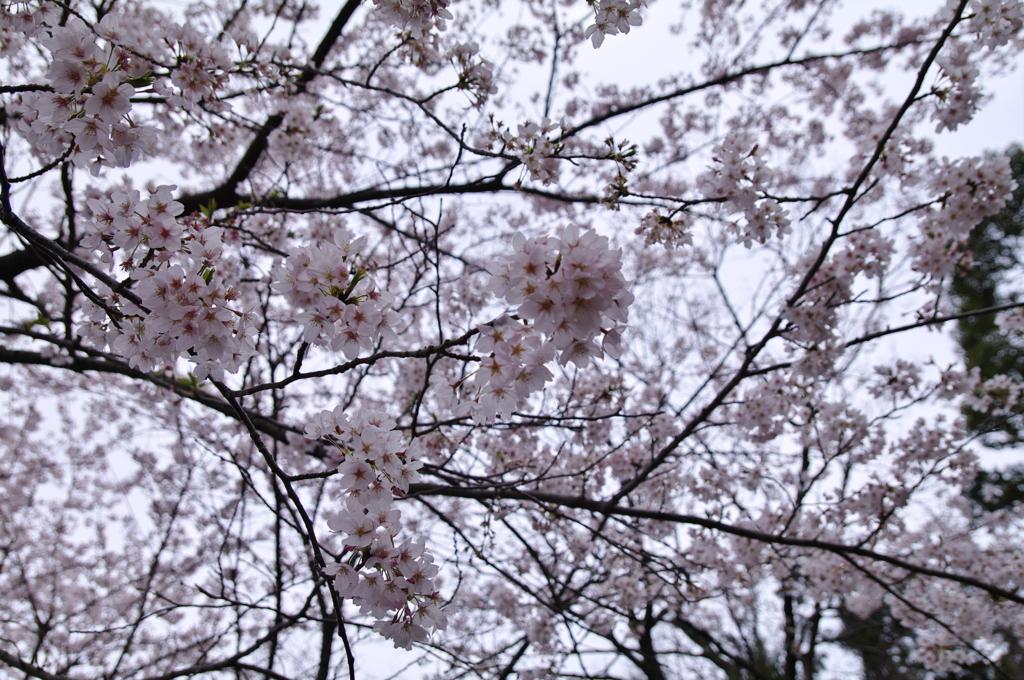 桜_音無山_1