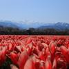 桜と山とチューリップ