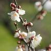 白梅、蕾と花