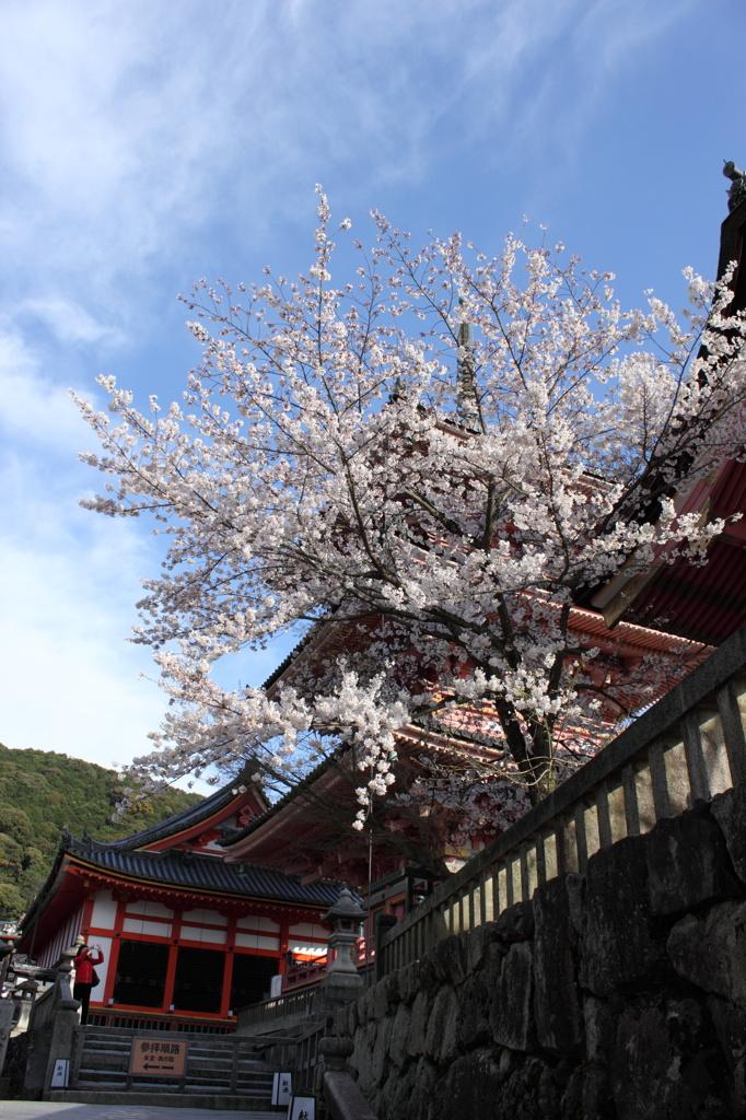 清水寺の桜と三重塔