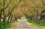 圓應禅寺の桜並木