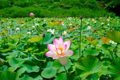 蓮の花 アザメの瀬