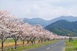 宇木の桜並木
