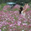 コスモス畑のカメラ女子2