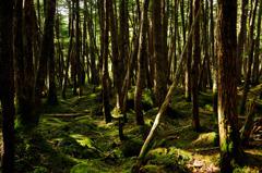 木漏れ日の原生林