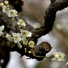 古木に月白(げっぱく)咲く