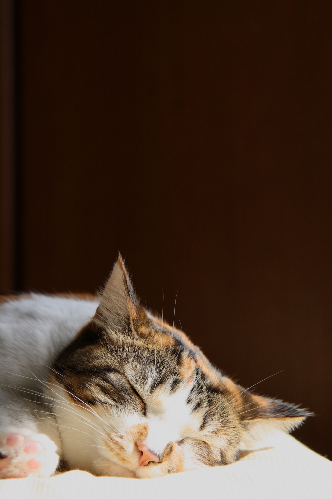 ネコの昼寝